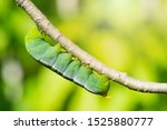 Caterpillars On Leaves With...