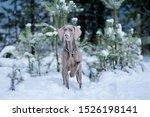 Dog Breed Weimaraner  Portrait...