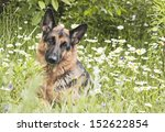 German Shepherd  Dog  Lies On ...