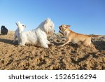 Stock photo puppy dogs playing on sand 1526516294