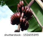 Red Bananas  Musa  In Brazil ...