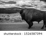 Wild bison crossing the road at the Lamar valley in Yellowstone
