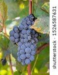 Ripe Grapes Of Saperavi In A...