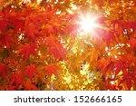 Colorful Maple Autumn Leaves...