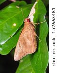 Small photo of Close up of common redeye (Matapa aria) butterfly (or skipper) clinging on green leaf