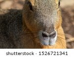 Stock photo patagonian mara dolichotis patagonum also known as the patagonian cavy patagonian hare or 1526721341