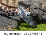Giraffe Head Close Up Showing...