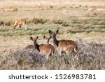 female of endemic very rare Mountain nyala, Tragelaphus buxtoni, big antelope in Bale mountain National Park, Ethiopia, Africa widlife