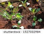 Newly Planted Cauliflower...