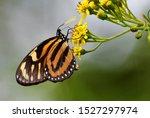 Beautiful Lycorea Halia  The...