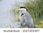 Grey heron. british bird with...