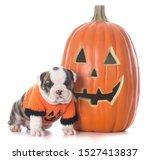 Stock photo female english bulldog puppy wearing halloween sweater sitting beside a pumpkin isolated on white 1527413837