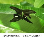 Butterfly Couple Mating....