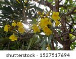 Tipuana Flowers Are Tricked By...