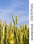 Natural Green Ears Of Wheat In...