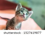 Stock photo little kitten is looking up striped gray kitten with blue eyes looks up enthusiastically 1527619877