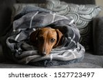 Cozy dog wrapped up in blankets ...