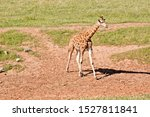 Small photo of the young giraffe is looking for a trre to nobble on.