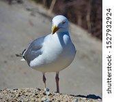 Stock photo single european herring gull on heligoland island dune north beach larus argentatus 1527932924