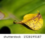 Stock photo yellow brown tropical tree lifeless leave falling in garden after a rainy night selective focus for 1528195187