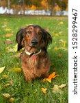 Stock photo dachshund dog sitting in autumn park 1528299467