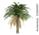 Palm Tree Isolated. Phoenix...