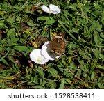 A Buckeye Butterfly Landed On A ...
