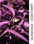 Tradescantia Pallida Or Purple...