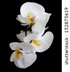 White Orchids Flowers On A...