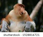 Mature Male Proboscis Monkey...