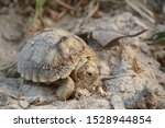 Stock photo  close up baby tortoise hatching african spurred tortoise birth of new life cute baby animal 1528944854