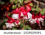Fuchsia  Fuchsia Hybrida  In...