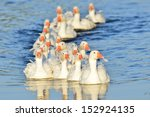 Gaggle On The River
