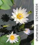 Stock photo white petal lotus flower in a pond with yellow pollen and purple petal at the edge of petal with 1529443034