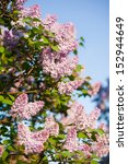 Branch Of Lilac On A Natural...