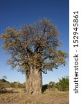 Small photo of Baobab Tree (Adansonia digitata) in the Savuti area of Botswana