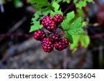 Blackberry Fruit From The...