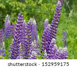 ������, ������: Lupins flowers