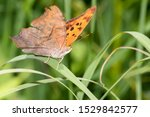 A Question Mark Butterfly...