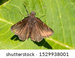 A Northern Cloudywing Perching...