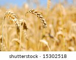 golden wheat in the field with... | Shutterstock . vector #15302518