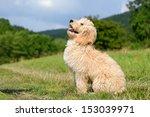 Goldendoodle Dog Puppy 3...