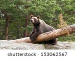 A Brown Bear Resting In A Forest