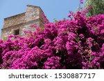 A Pink Bougainvillea Flower...