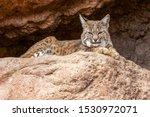 Bobcat Rests in the Shade at the Entrance of a Cave and Observes Its Territory
