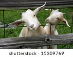 two goats with heads thru fence   Shutterstock . vector #15309769
