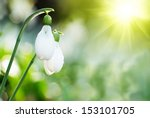 Snowdrop  Spring White Flower...