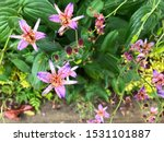 Close Up Of Purple Toad Lily I...