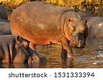 A Hippo Cow Moves Out Of The...