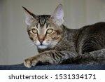Stock photo adorable arabian mau rescue kitten with amazing green yellow eyes posing on a dark grey cushion 1531334171